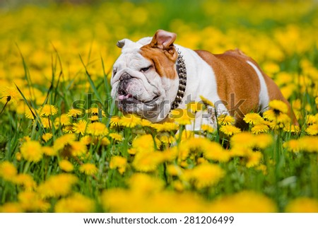 english bulldog running outdoors - stock photo