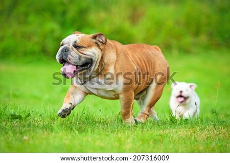 English bulldog running with a puppy - stock photo