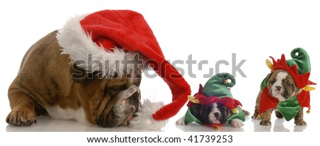 english bulldog santa with two bulldog elf helpers - stock photo