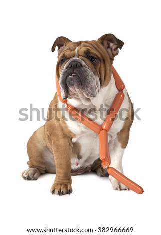 English Bulldog sitting against a white background with a bunch of sausages around her neck and looking to the side