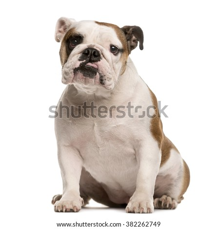 English Bulldog sitting and looking at the camera, isolated on white - stock photo