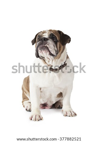 English Bulldog sitting and looking to the side isolated on white background