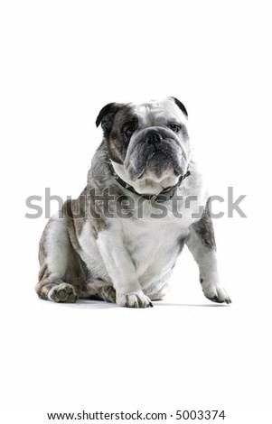 english bulldog sitting down - stock photo