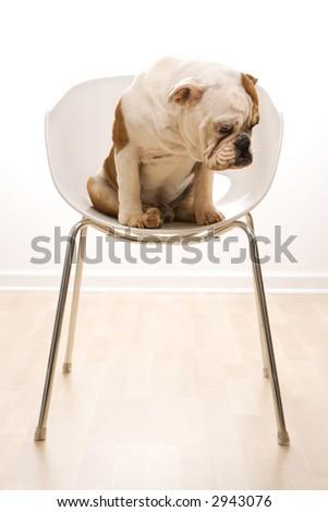 English Bulldog sitting in modern chair looking at floor. - stock photo