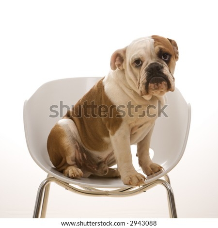 English Bulldog sitting in modern chair looking at viewer. - stock photo