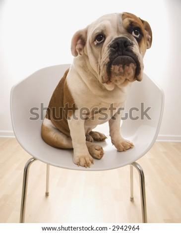 English Bulldog sitting in modern chair looking up. - stock photo