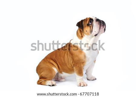 English bulldog sitting in studio in front of a white background - stock photo
