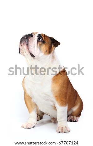 English bulldog sitting in studio in front of a white background