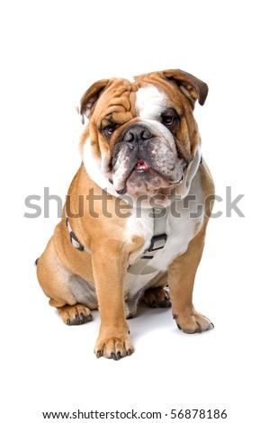 English bulldog sitting, isolated on a white background - stock photo