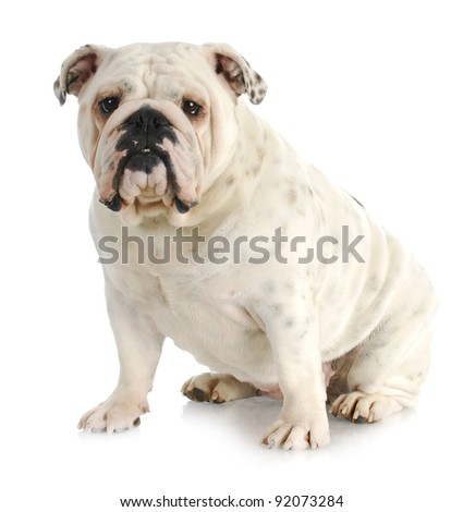 english bulldog sitting looking at viewer on white background - one year old - stock photo
