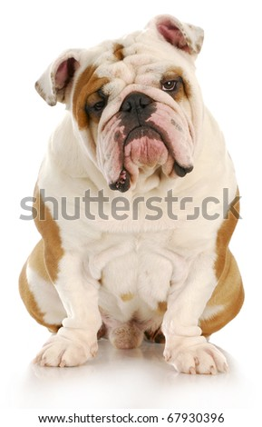 english bulldog sitting looking at viewer with reflection on white background - stock photo