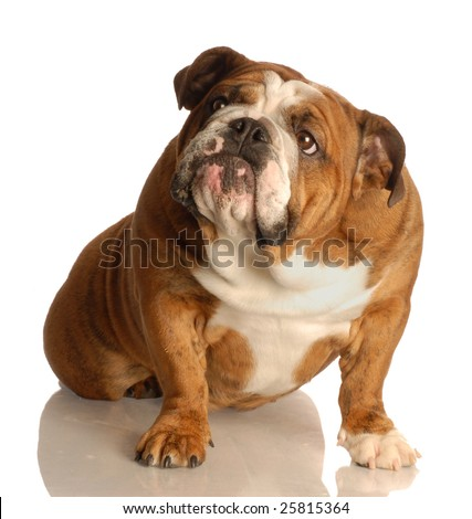 english bulldog sitting looking up with guilty expression - stock photo