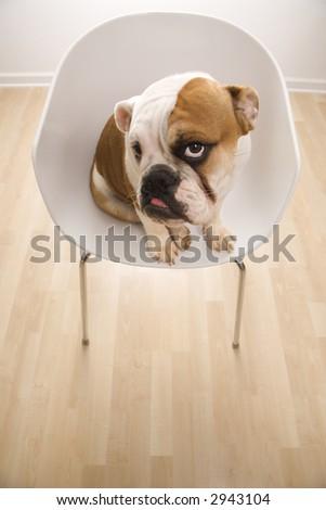 English Bulldog sitting on chair looking at viewer. - stock photo
