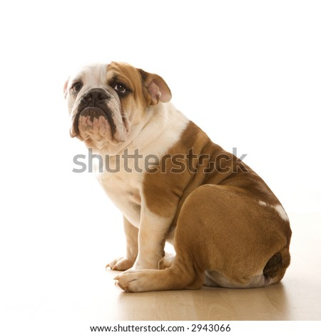 English Bulldog  sitting on floor looking at viewer. - stock photo