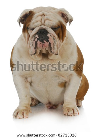 english bulldog sitting with eyes closed on white background - 2 years old - stock photo