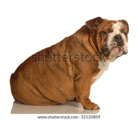 english bulldog sitting with guilty looking expression - stock photo