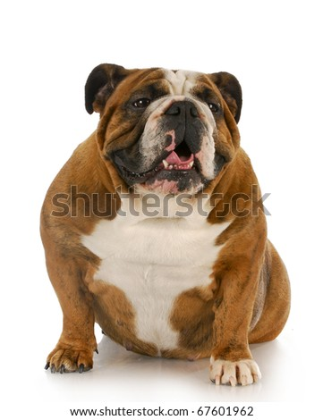 english bulldog sitting with reflection on white background