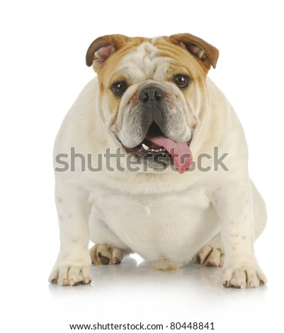 english bulldog sitting with tongue out panting looking at viewer - stock photo