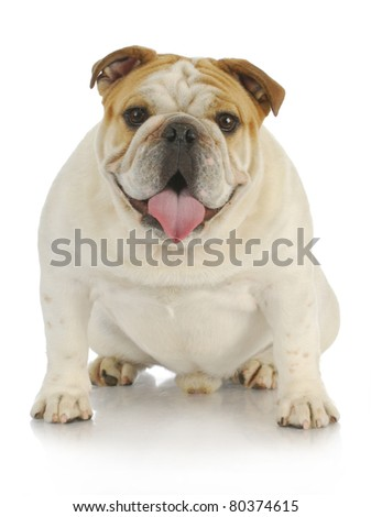 english bulldog sitting with tongue out panting looking at viewer - 6 months old