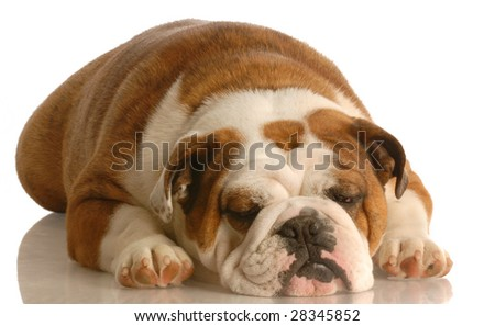 english bulldog sleeping isolated on white background - stock photo
