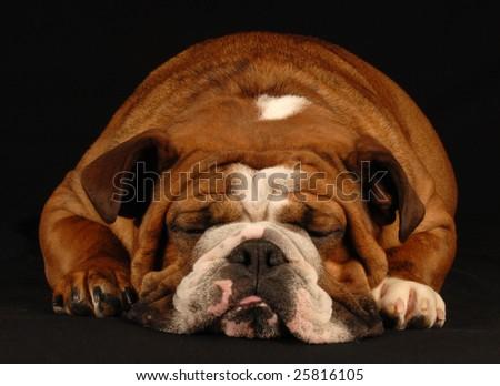 english bulldog sleeping on a black background - stock photo