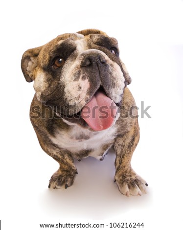 English Bulldog smiling with tongue out isolated on white