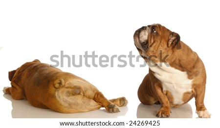 english bulldog sniffing up in the air at another dogs backside - dog fart - stock photo