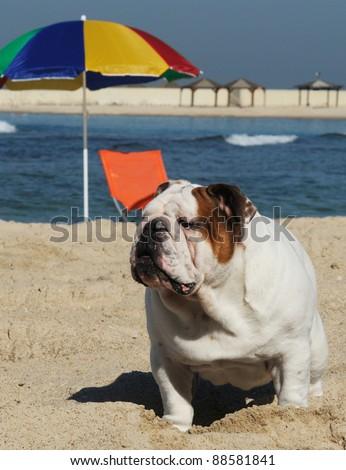 English bulldog stand on the beach - stock photo