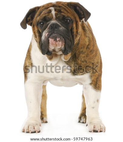 english bulldog standing isolated on white background - stock photo