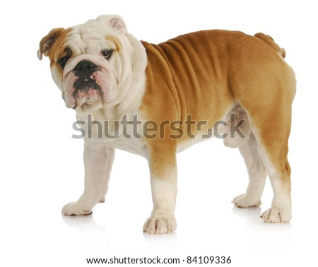 english bulldog standing looking at viewer on white background - stock photo