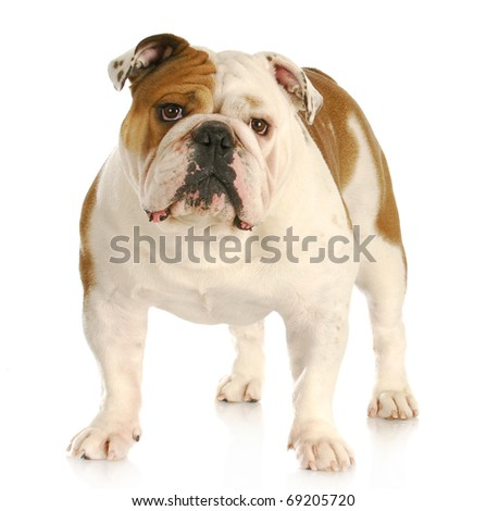 english bulldog standing looking at viewer with reflection on white background