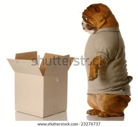 english bulldog standing looking down into cardboard box - shipping or moving concept - stock photo