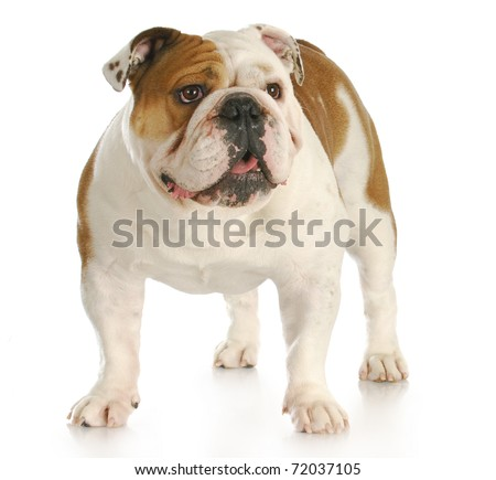 english bulldog standing looking up with reflection on white background