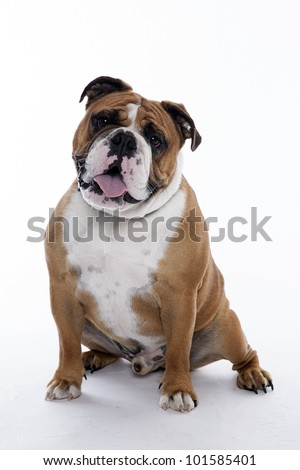 english bulldog standing on white background