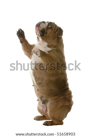english bulldog standing up begging isolated on white background - stock photo