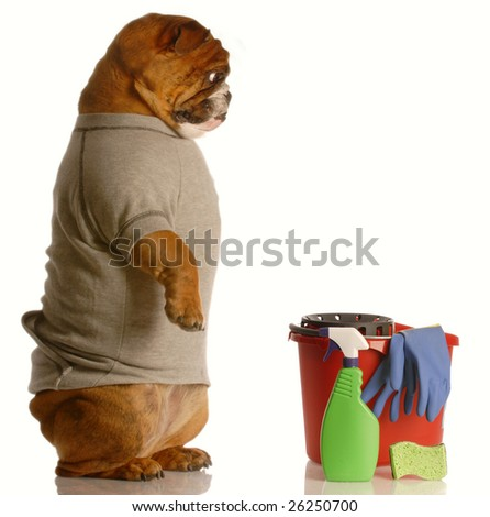 english bulldog standing up beside bucket and cleaning supplies - janitor - stock photo