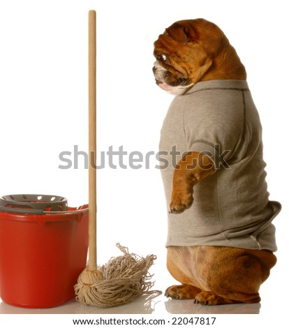 english bulldog standing up beside mop and bucket - janitor - stock photo