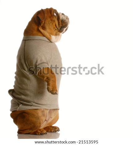 english bulldog standing up looking forward wearing grey flannel sweatsuit - stock photo