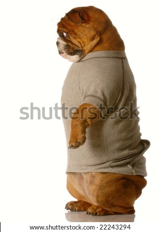 english bulldog standing up on back legs looking down - stock photo