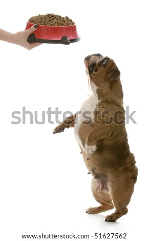 english bulldog standing up on tippy toes begging for full bowl of dog food isolated on white background - stock photo