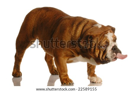 english bulldog standing up sticking tongue out