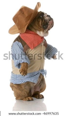english bulldog standing up wearing cowboy costume with reflection on white background - stock photo