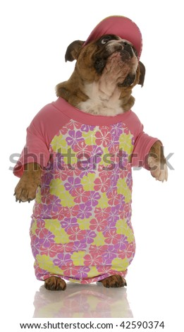 english bulldog standing up wearing pink shirt and matching hat - stock photo