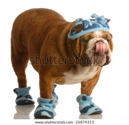 english bulldog standing wearing blue hat and winter boots - stock photo