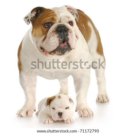 english bulldog standing with puppy laying at the feet on white background