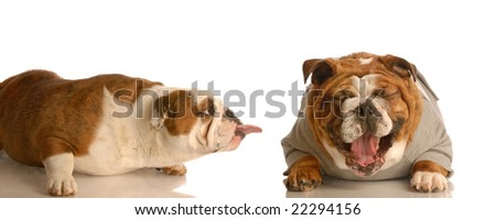 english bulldog sticking tongue at another dog laughing - concept of bullying - stock photo