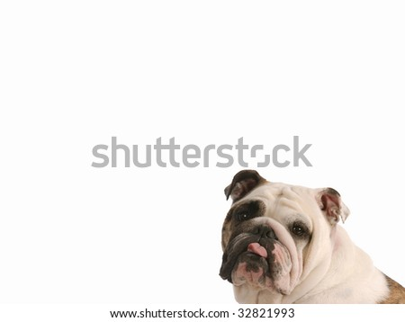 english bulldog sticking tongue out - room for copyspace - stock photo