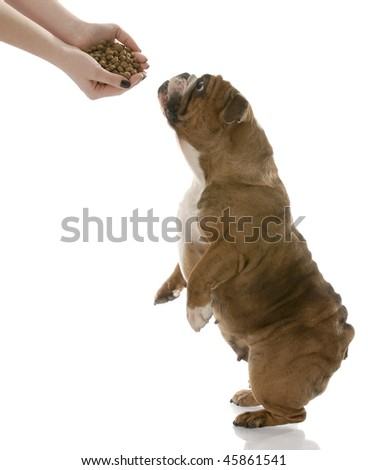 english bulldog stretching up to get a hand full of dog food - stock photo