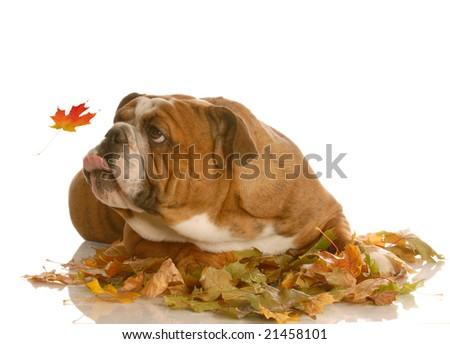 english bulldog trying to catch autumn leaves isolated on white background - stock photo