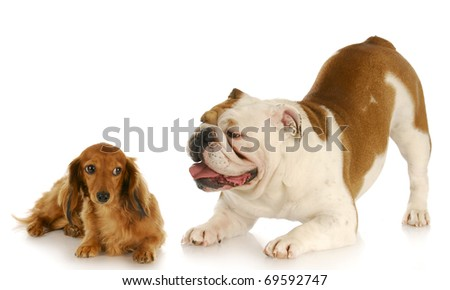 english bulldog trying to convince dachshund to play with reflection on white background - stock photo